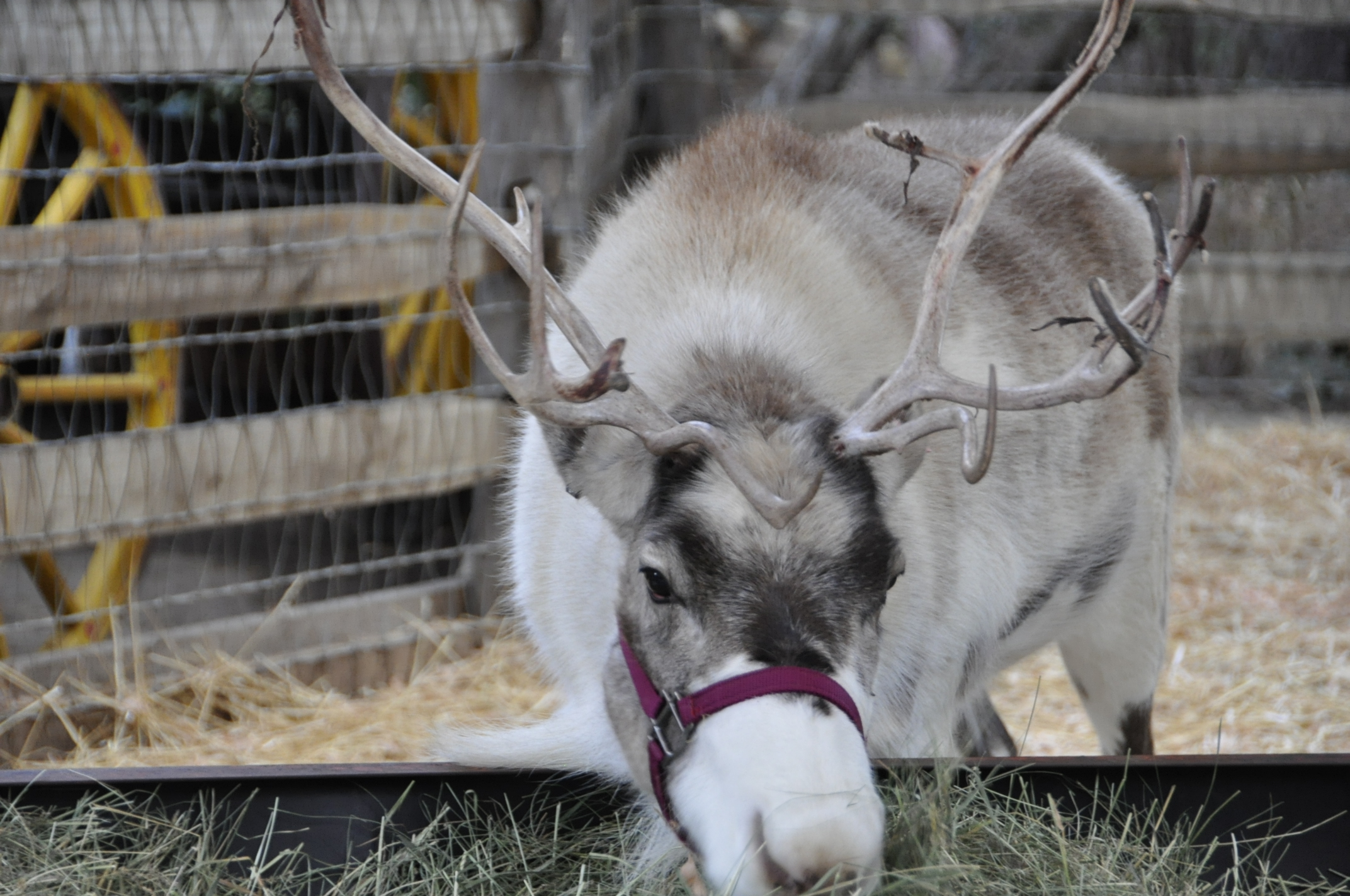 gallery for real christmas reindeer displaying 20 images for real ...