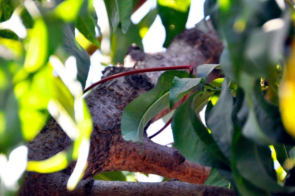 Pheromone Disruptor on Peach Tree