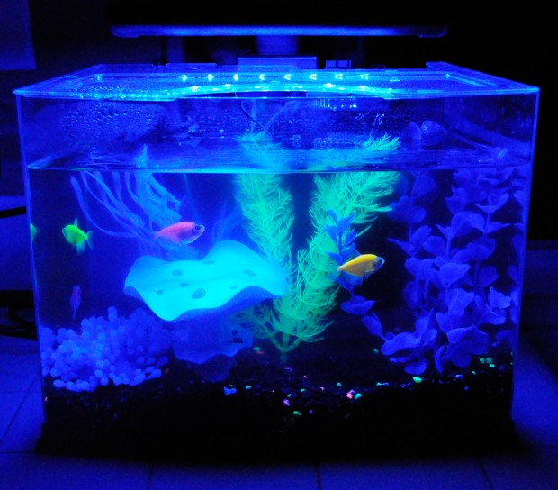 How to care for glofish rockin mama for Glow in the dark fish walmart