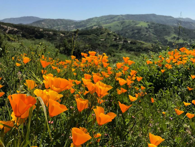 Santiago Oaks - Wildflower Hikes