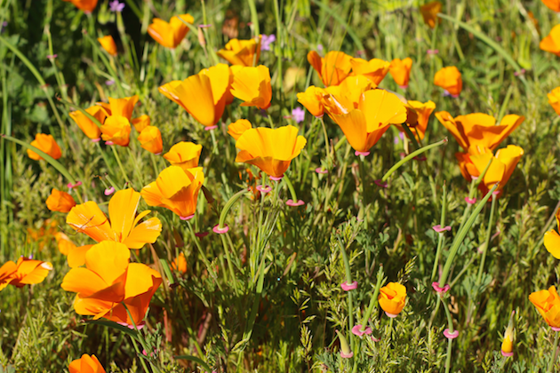 Wildflowers in Orange County