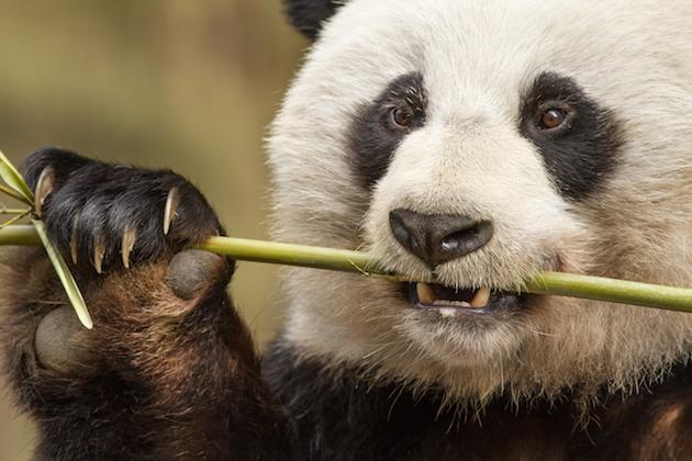 Panda Bear - Disneynature's Born in China