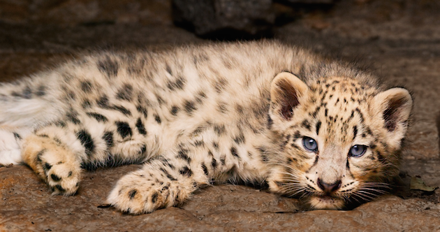 Snow Leopard - Disneynature's Born in China