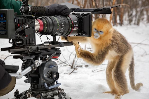 Snub Nosed Monkey - Disneynature's Born in China