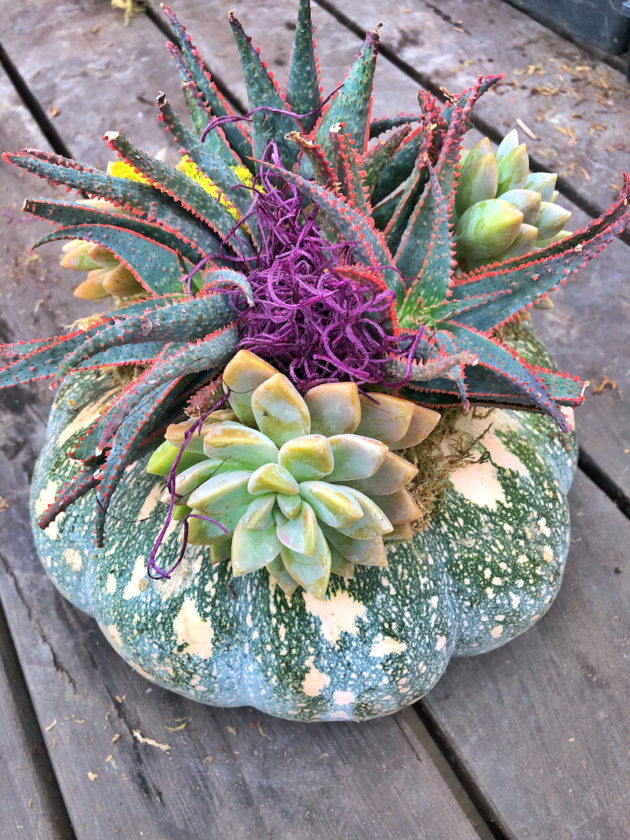 Pumpkin With Succulents Planter