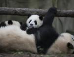 Kristen Bell Narrates New IMAX Pandas Documentary