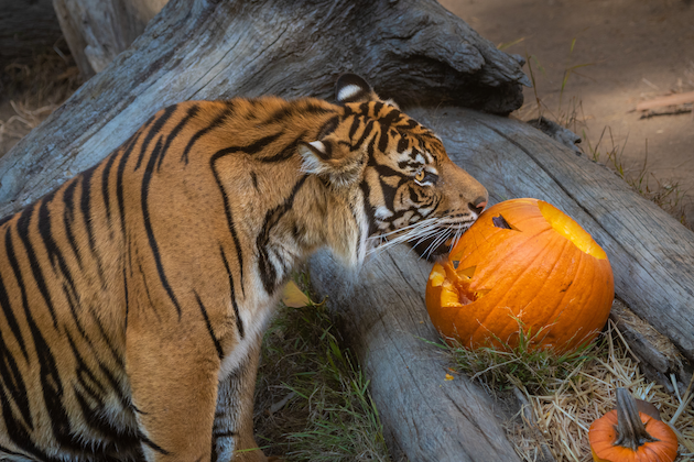 Tiger Pumpkin Boo at the LA Zoo