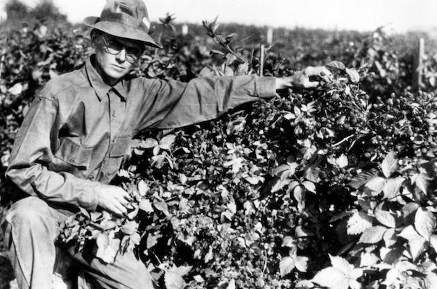 Walter Knott Tending Berries c.1946