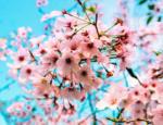 US Cherry Blossom Trees