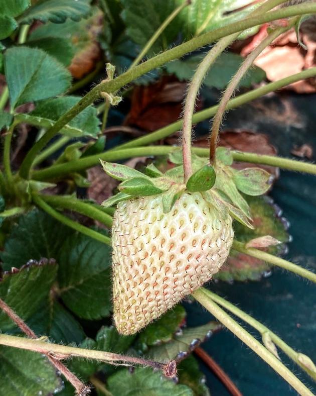 Unripe Strawberry